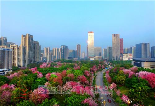 瑞康路两旁盛开的紫荆花.jpg