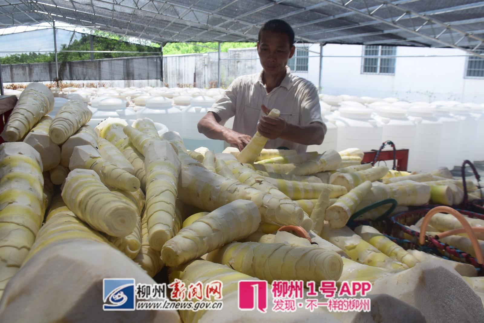 正午時分,從白石屯收購的甜筍被運到百真匯螺螄粉生產產房中.JPG